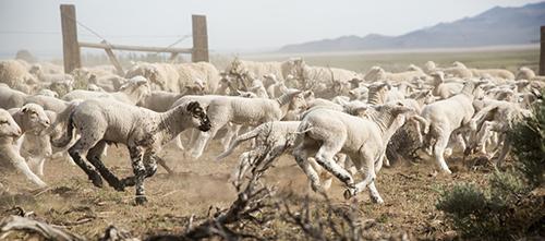 Sheep Ranch Call Out Box